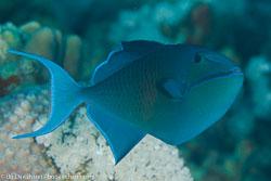 BD-120425-Marsa-Alam-6478-Odonus-niger-(Rüppell.-1836)-[Red-toothed-triggerfish.-Blå-tryckare].jpg